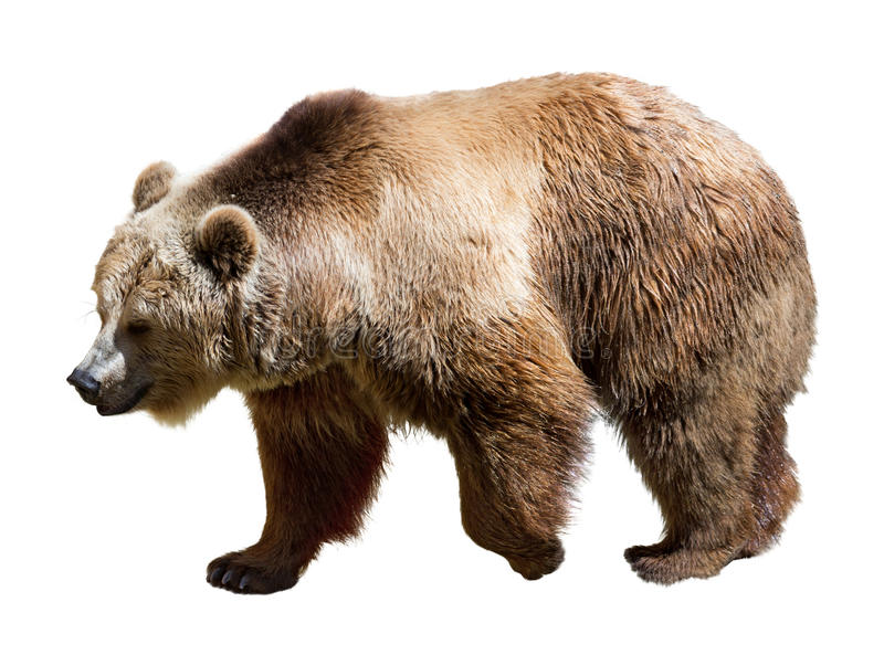 Side View Of Bear. Isolated  Over White Stock Photo