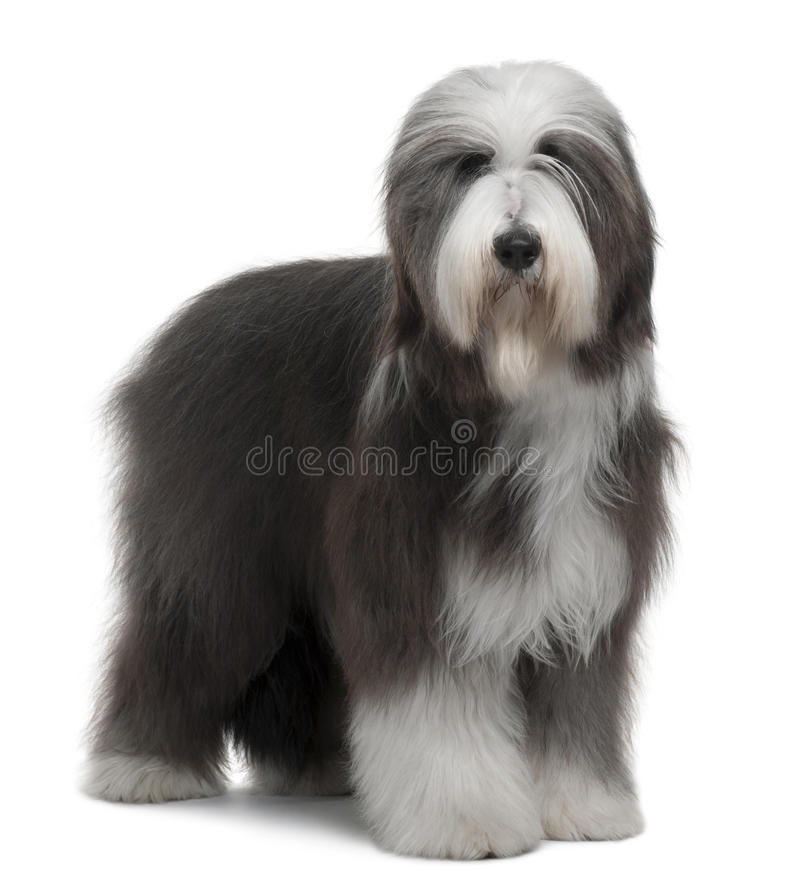 Side view of Bearded Collie, 1 Year Old, standing stock images