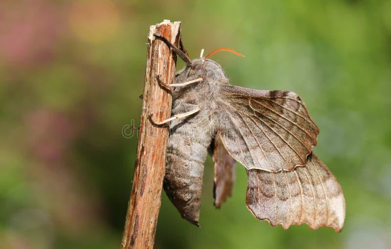 The side view of a beautiful Poplar Hawk-moth Laothoe populi . stock photo