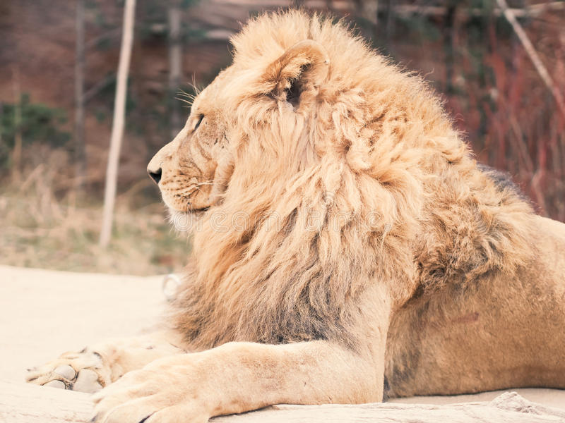 Side view from big male lion sit on floor with soft focus forest stock photography