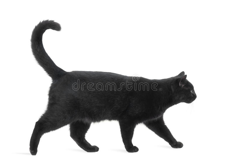 Side view of a Black Cat walking royalty free stock photo