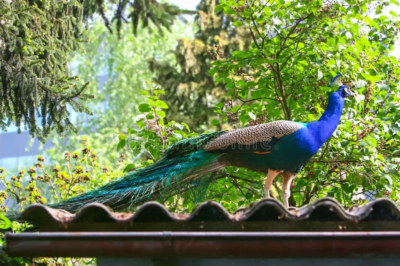 Blue peacock on roof. A side view of a blue peacock standing on a roof of a house among trees stock images