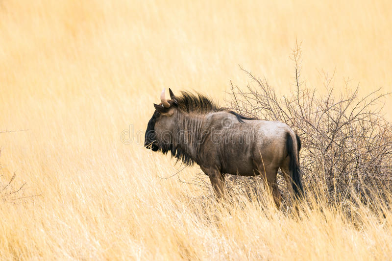 Side view of a blue wildebeest stock image