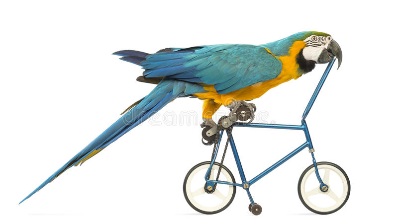 Side view of a Blue-and-yellow Macaw, Ara ararauna, 30 years old, riding a blue bicycle. In front of white background royalty free stock photo
