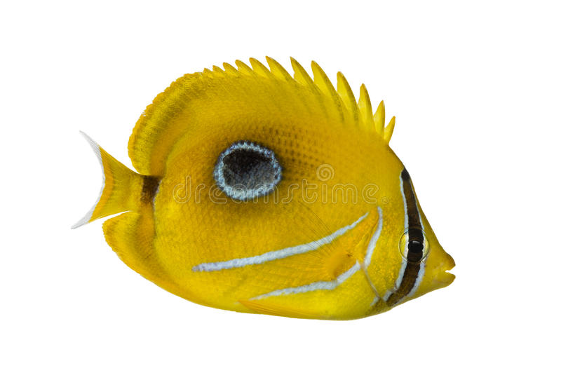 Side view of a Bluelashed butterflyfish, Chaetodon bennetti. Isolated on white royalty free stock photos