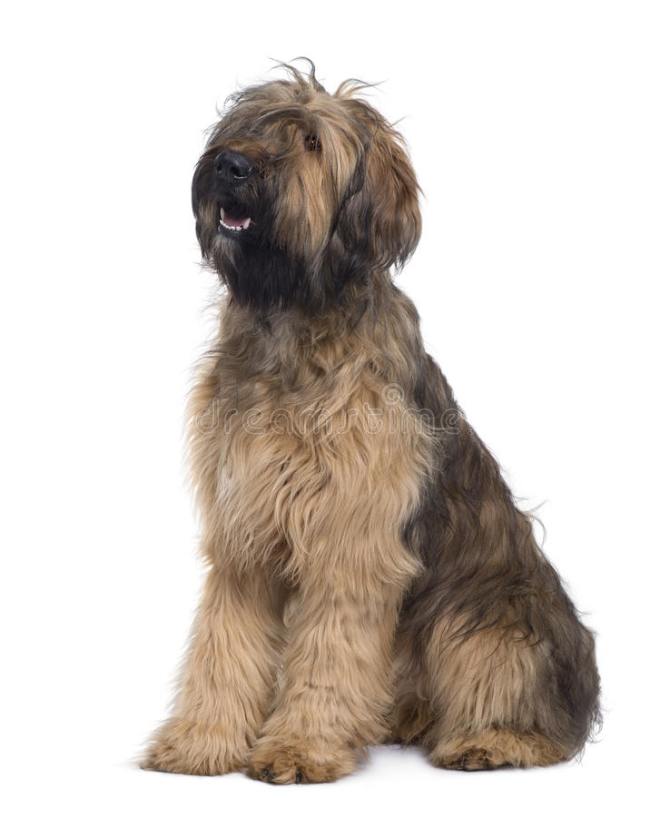 Download Side View Of Briard Dog, 9 Months Old, Sitting Stock Photo - Image: 12909720