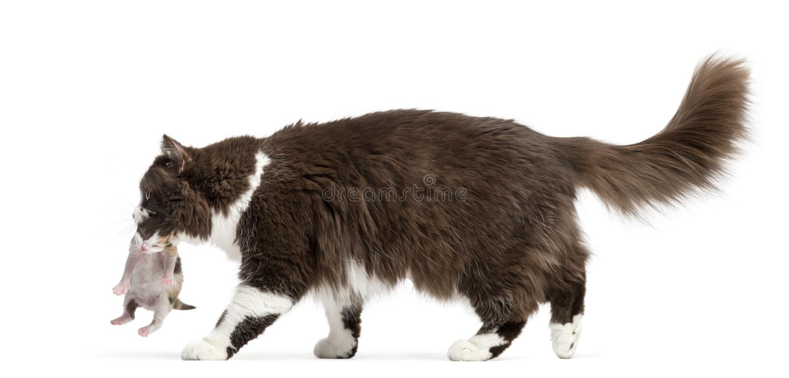 Side view of a British Longhair walking, carrying kitten
