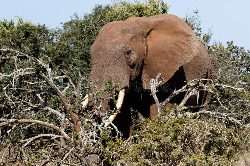 Side view of the Bush Elephant standing behind the branches stock photos
