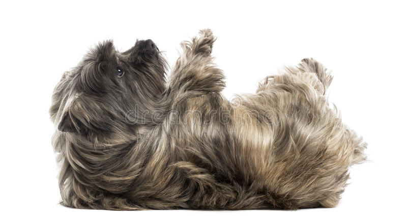 Side View Of A Cairn Terrier Lying On Its Back, Submissive Stock Photo