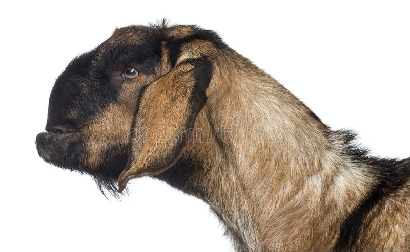 Side view Close-up of an Anglo-Nubian goat with a distorted jaw against white background royalty free stock image