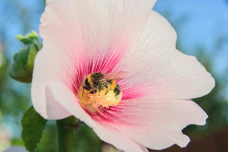 Bee on a malva flower. Side view of close-up bee sits on a malva flower stock images