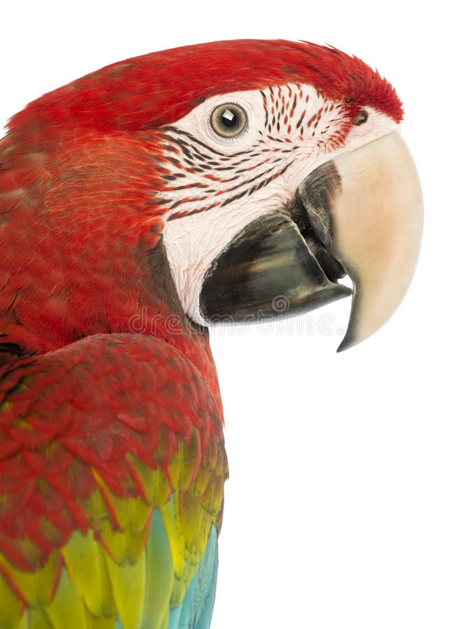Side view close-up of a Green-winged Macaw, Ara chloropterus, 1 year old. In front of white background royalty free stock images