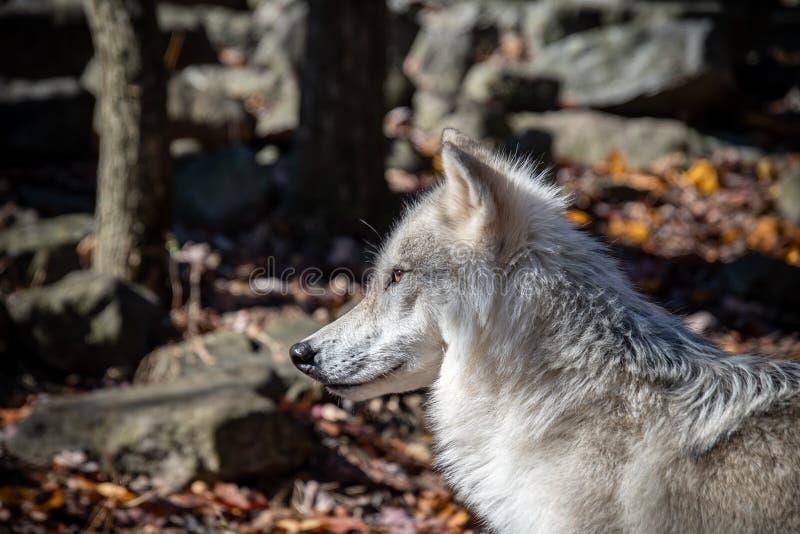closeup view   arctic wolfs face   drooling