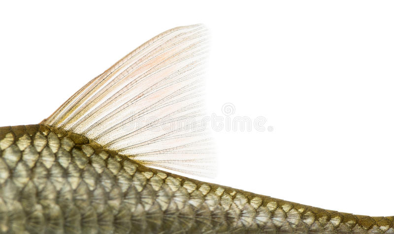 Side view of a Common roach' dorsal fin, Rutilus rutilus. Isolated on white royalty free stock image