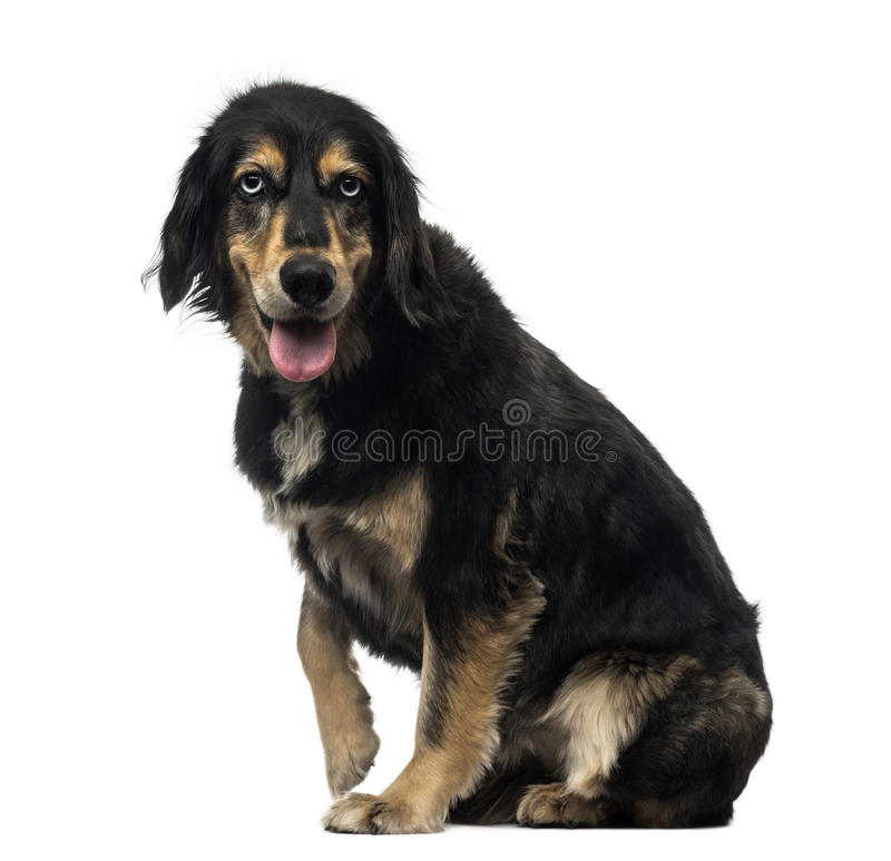 Side view of a Crossbreed dog panting royalty free stock images