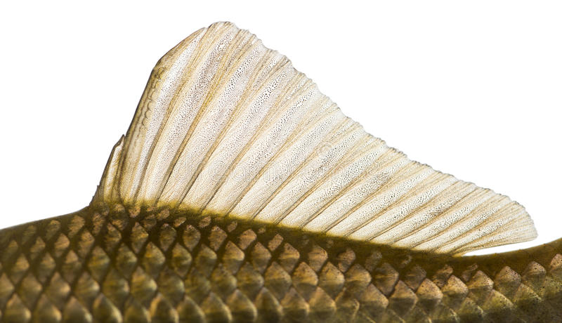 Side view of a Crucian carp's dorsal fin, Carassius carassius. Isolated on white royalty free stock photos