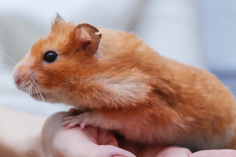 Side view of Cute Orange Syrian or Golden Hamster Mesocricetus auratus climbing on girl`s hand. Taking Care, Mercy, Domestic Pe stock images