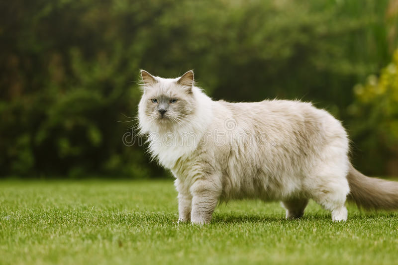 Side view of cute ragdoll tomcat with beautiful eyes standing on a grass royalty free stock image