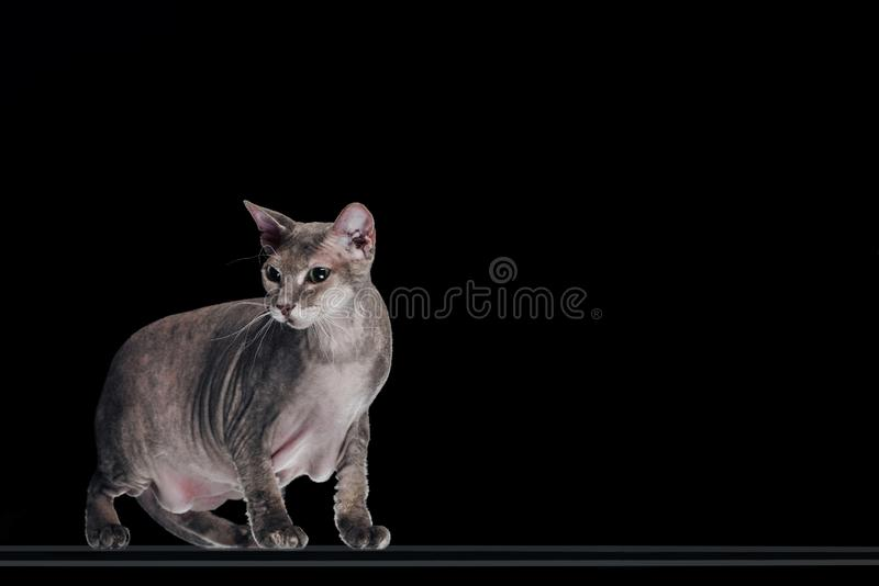 Side view of domestic grey sphynx cat looking away. Isolated on black royalty free stock photos