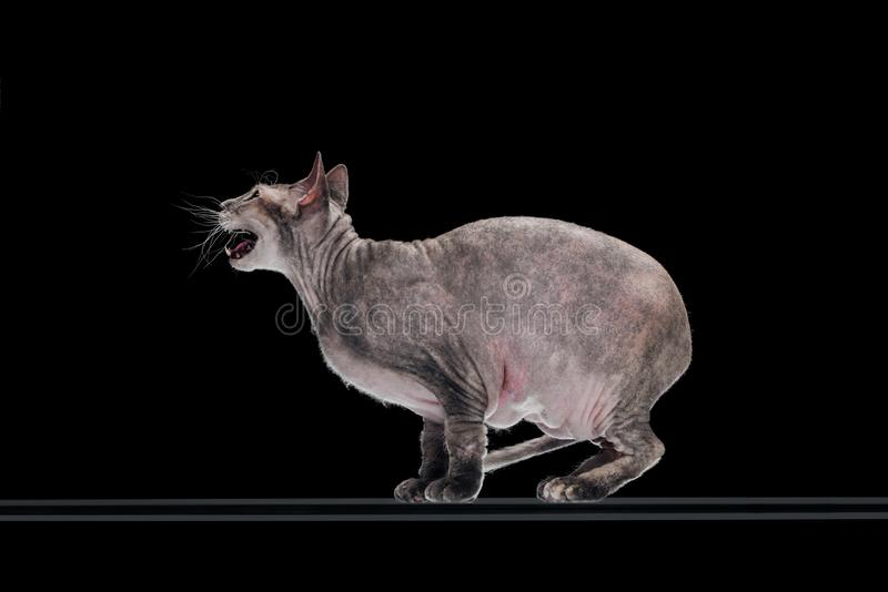 Side view of domestic grey sphynx cat meowing. Isolated on black stock image