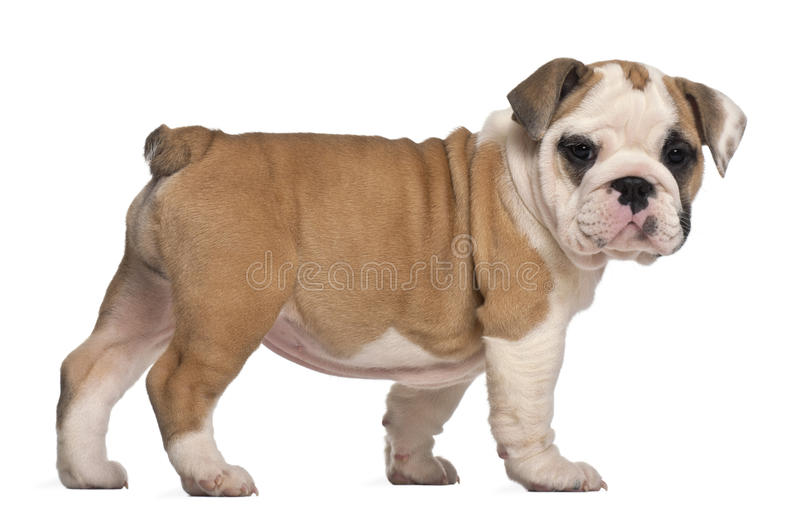 Side view, English Bulldog puppy, standing royalty free stock photography