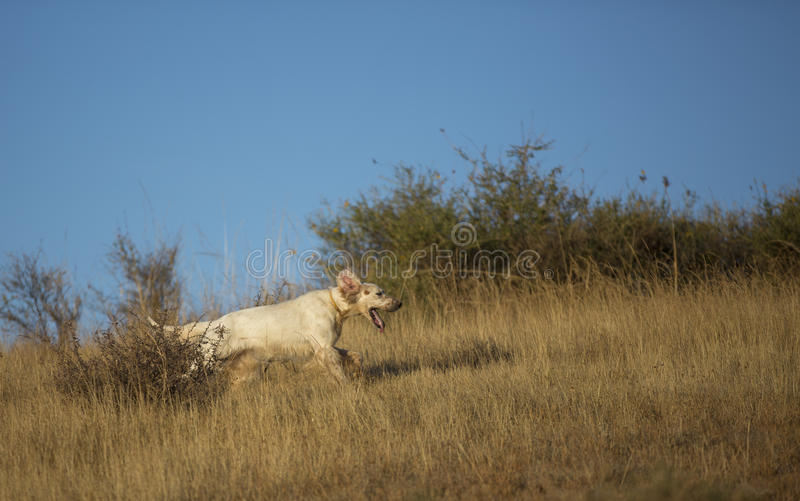 Download Side View Of English Setter Stock Photo - Image: 26603298