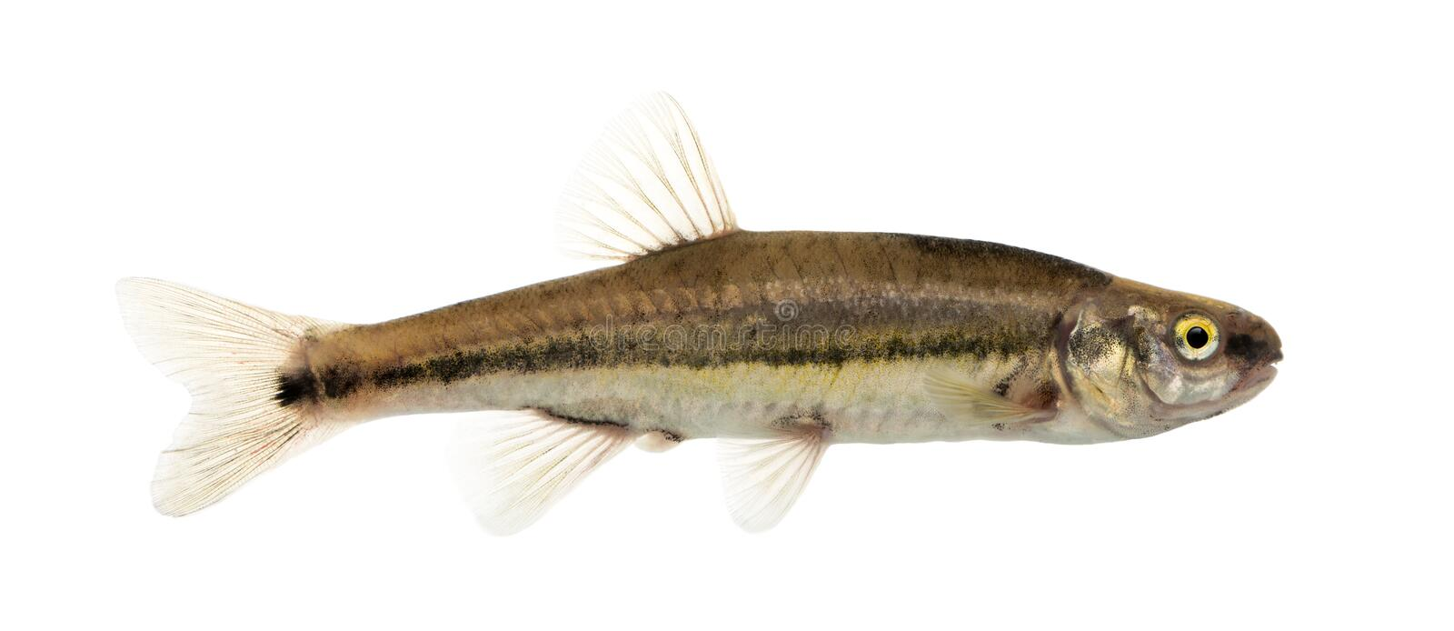 Side view of an Eurasian minnow, Phoxinus phoxinus. Isolated on white stock image