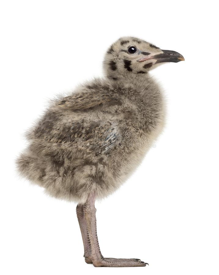 Side view of an European Herring Gull chick, Larus argentatus. 1 month old against white background royalty free stock image