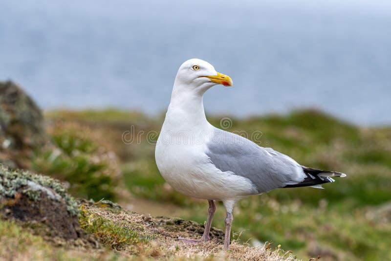 Side view of European herring gull Larus argentatus stock photos