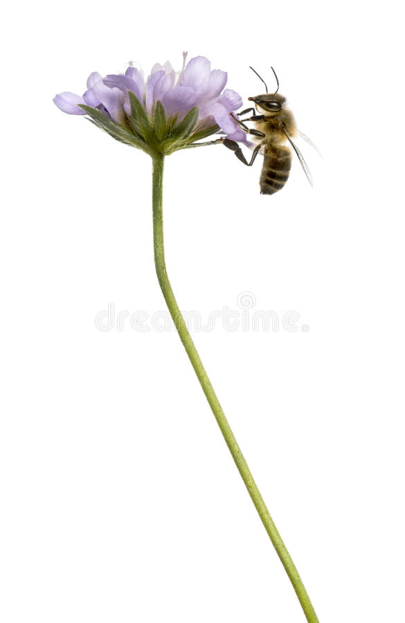 Download Side View Of A  European Honey Bee Landed On A Flowering Plant Stock Image - Image: 37848909