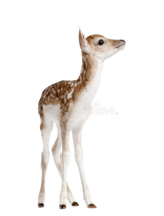 Side view of Fallow Deer Fawn, Dama dama, 5 days old. Standing against white background, studio shot stock photo