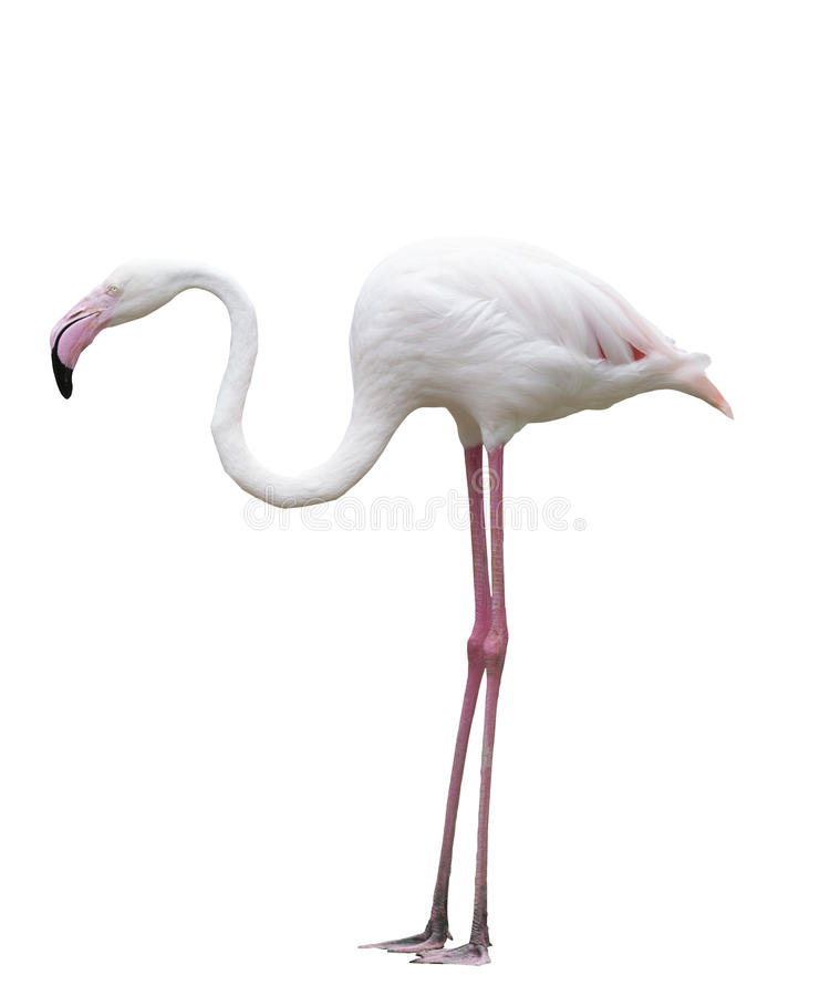 Side view of flamengo bird isolate white background stock image