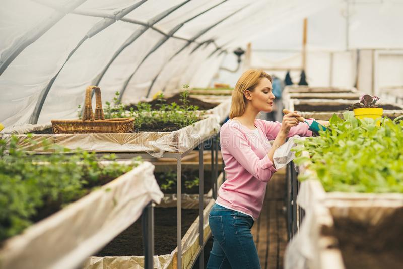 Side view florist in pink cardigan working in greenhouse. Blond slim woman holding small gardening spade and planting. Flowers royalty free stock images