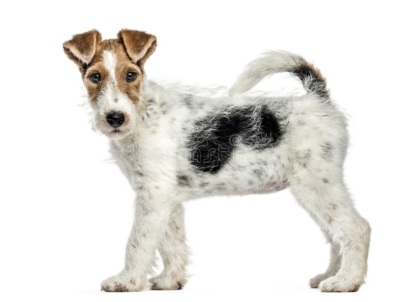 Side view of a Fox terrier dog, standing, isolated royalty free stock photography