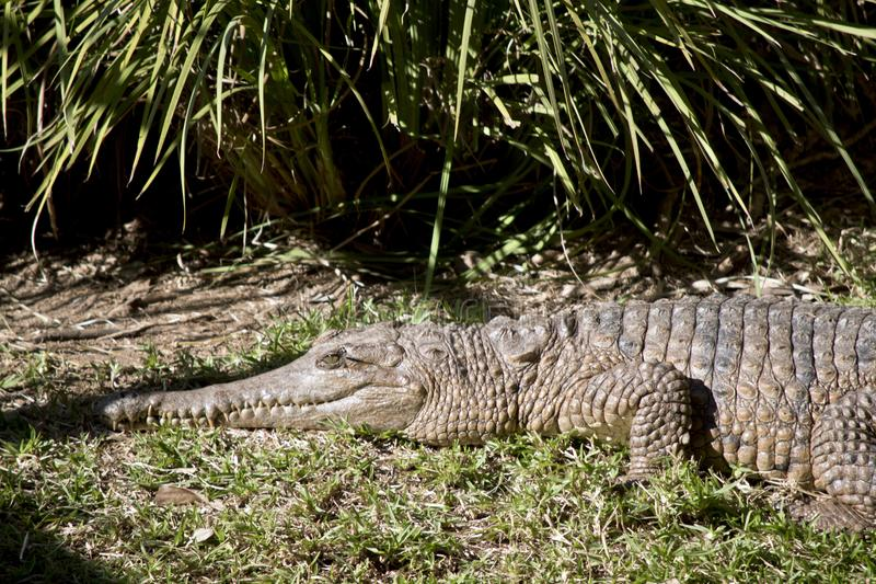 Fresh water crocodile. This is a side view of a fresh water crocodile royalty free stock images