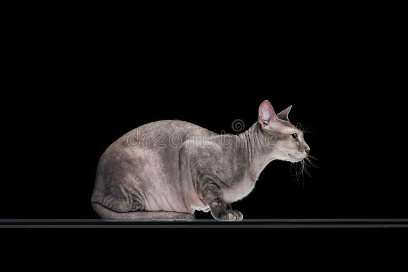 Side view of friendly domestic grey sphynx cat sitting. Isolated on black stock images