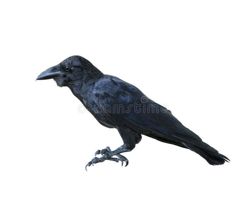 Side view full body of black feather raven bird isolated white b stock images