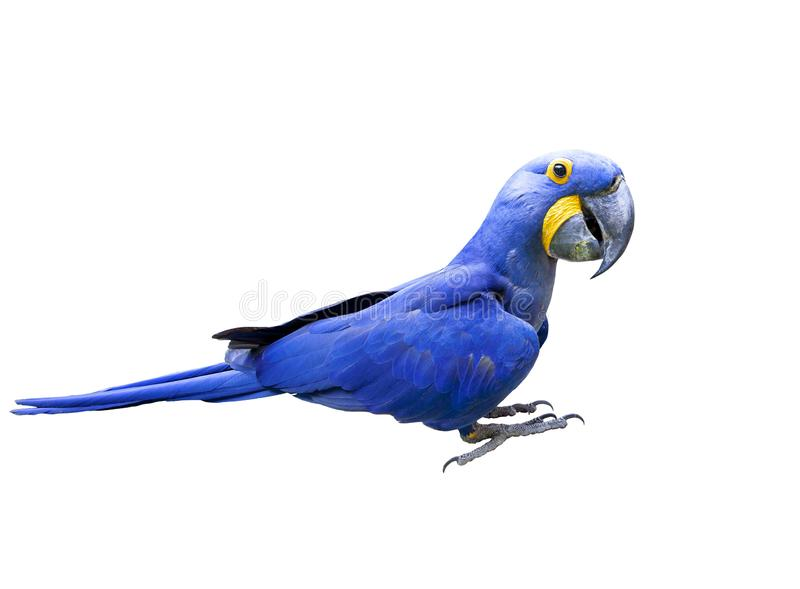 Side view full body of hyacin macaw bird isolated white background royalty free stock photography