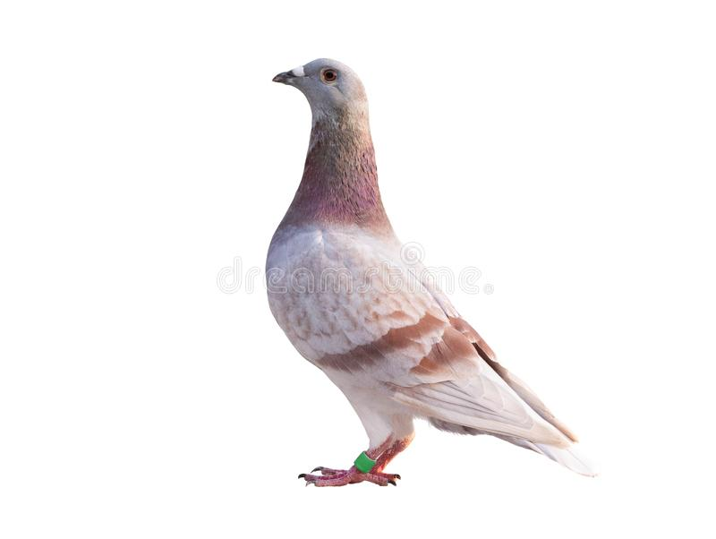 Side view full body of red feather speed racing pigeon isolated white background stock photo