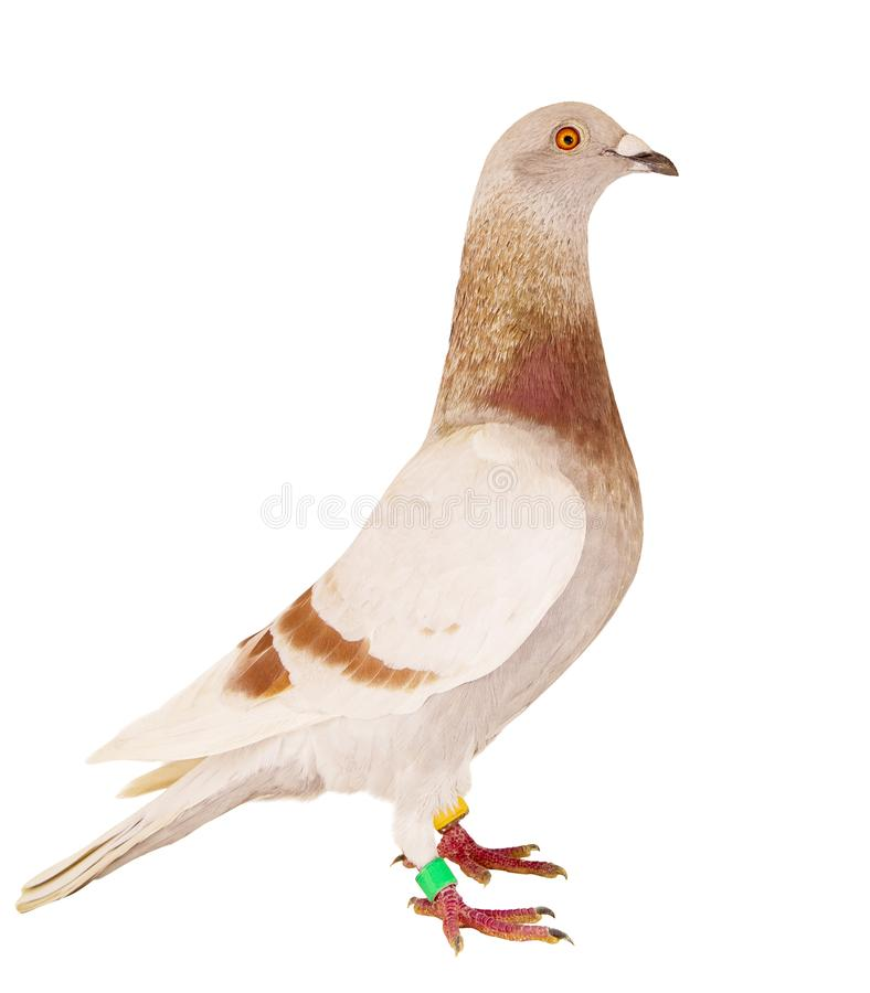 Side view full body of red mealy feather of speed racing pigeon isolated white backgorund stock images
