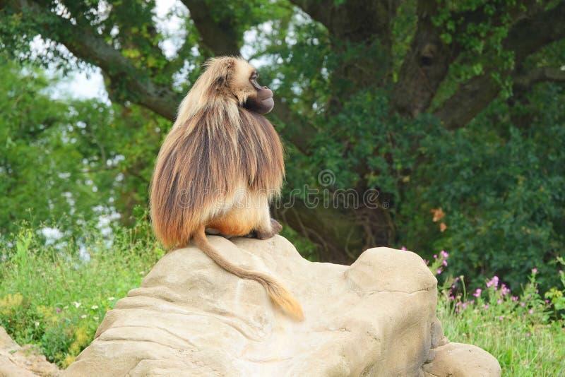 Gelada monkey sitting on rock. Side view of a Gelada baboon or Bleeding heart monkey Theropithecus gelada sitting on a rock royalty free stock image
