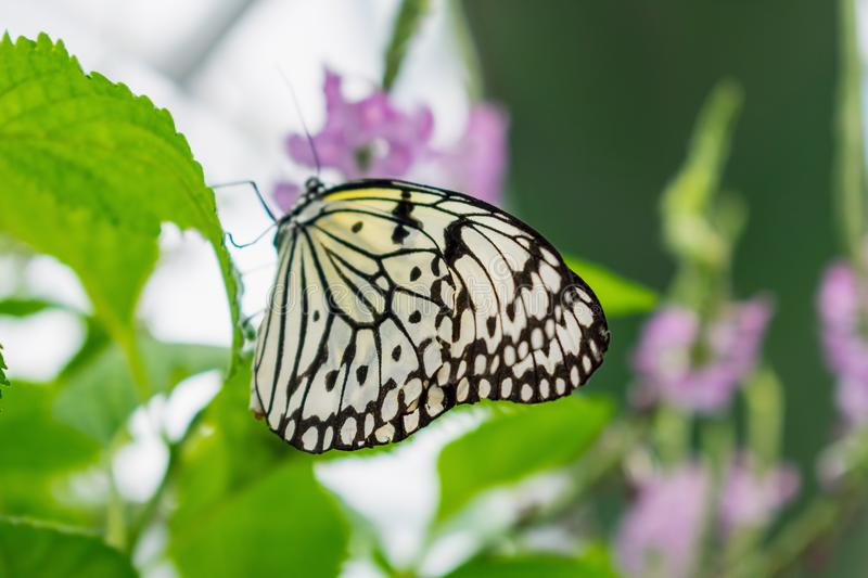 Side view of Giant Wood Nymph butterfly royalty free stock images