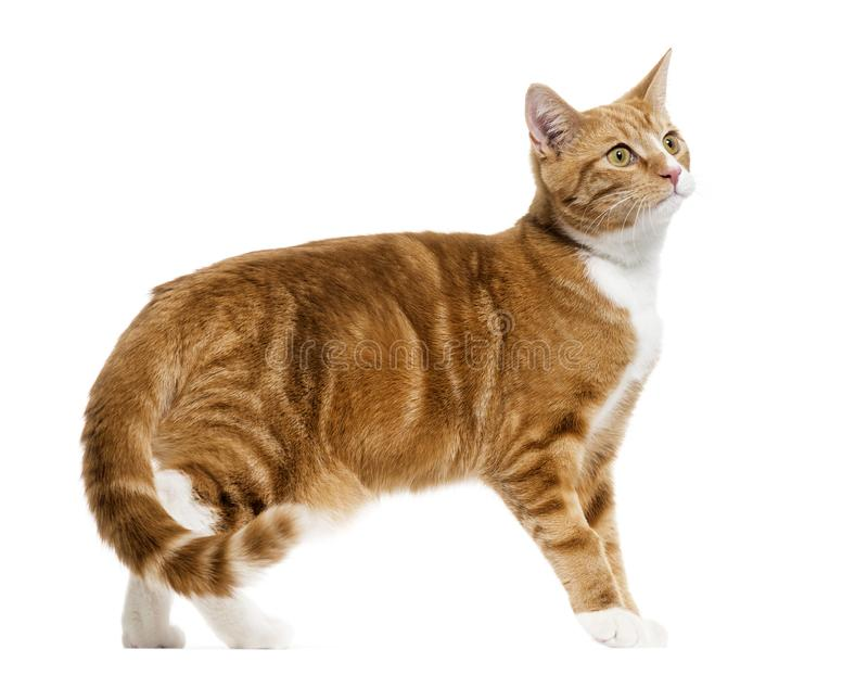 side view of a Ginger mixed-breed cat standing, isolated on whit royalty free stock image