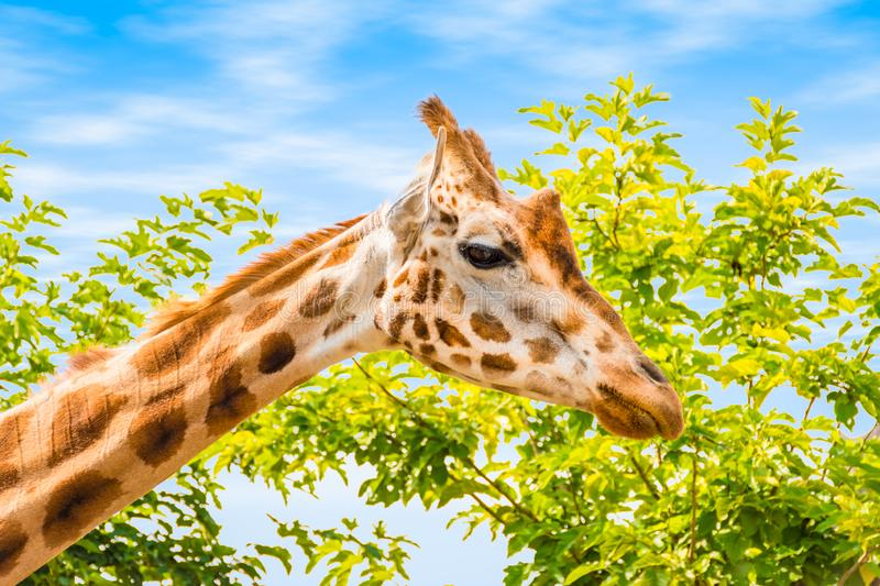 Side view of giraffe head. stock image
