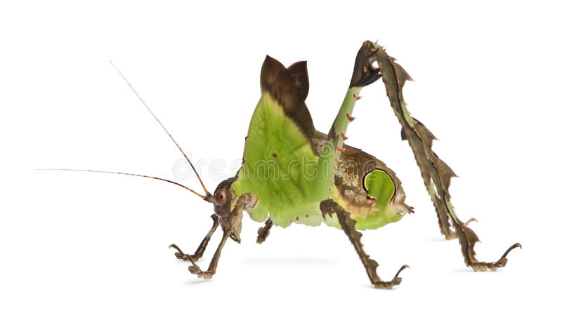 Side view of Grasshopper, standing stock photos