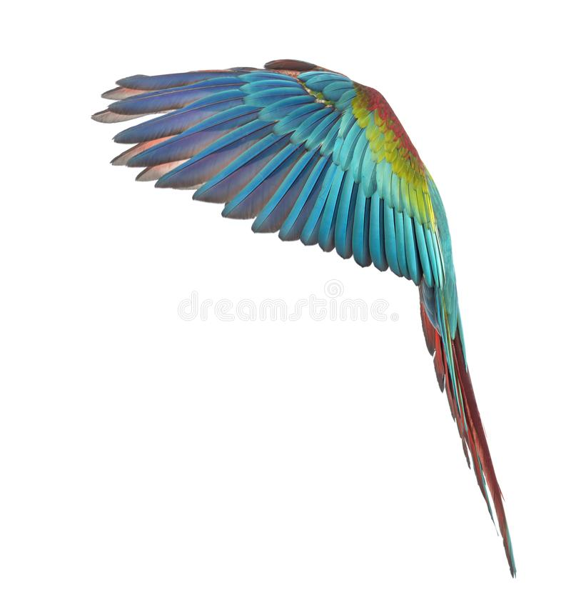 Side view of a Green-winged Macaw, Ara chloropterus, 1 year old, flying in front of white background royalty free stock photo