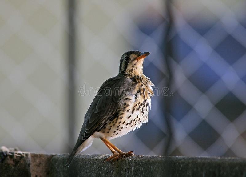 GROUNDSCRAPER THRUSH ON A WALL LOOKING UPWARDS. Side view of a Grounscraper Thrush bird sitting on a wall in a shaded area in Southern Africa royalty free stock photography
