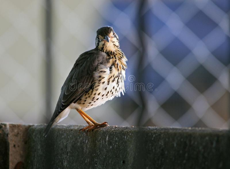 GROUNDSCRAPER THRUSH ON A WALL WITH HEAD COCKED royalty free stock images