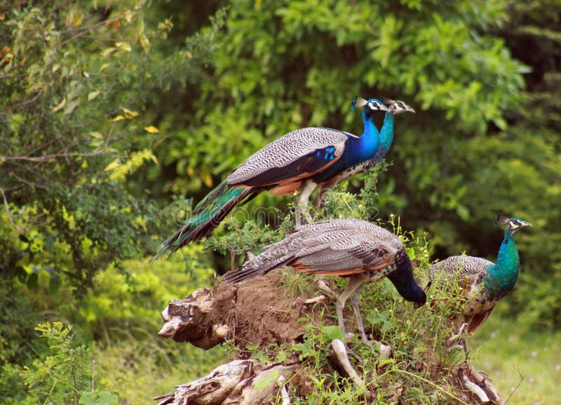 Side view of group of four male peafowls Pavo cristatus sitting on trunk of a tree in Yala NP, Sri Lanka royalty free stock photos