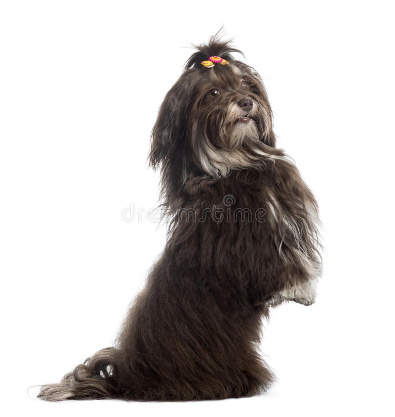 Download Side View Of A Havanese Upright, Looking At The Camera, Isolated Stock Photo - Image: 34065178